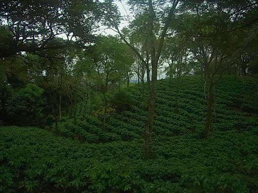 コーヒー農園コスタリカ国連平和大近く